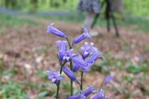 Monday Inspiration: The Bluebell Woods